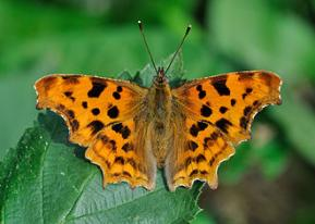 Comma (butterfly), the brush-footed butterfly Polygonia c-album